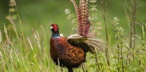 Pheasant-900x444