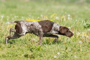 double-p-hunting-dogs-pointer-300x200