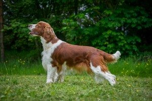 double-p-hunting-dogs-spaniel-300x199
