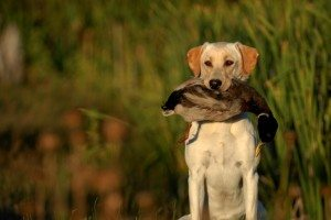 doublep-golden-retrieving-waterfowl-300x200