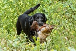 Early Season Hunting - Dove, Goose & Pheasant Hunting